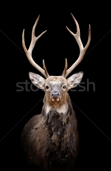 Deer on dark background Stock photo © byrdyak