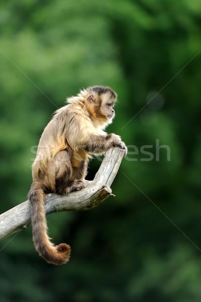Maymun beyaz şube doğa bebek mutlu Stok fotoğraf © byrdyak