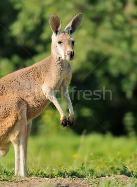 Kangoeroe familie baby bos natuur jonge Stockfoto © byrdyak
