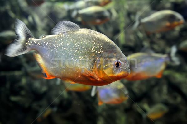 Tropical piranha naturalismo ambiente peixe Foto stock © byrdyak