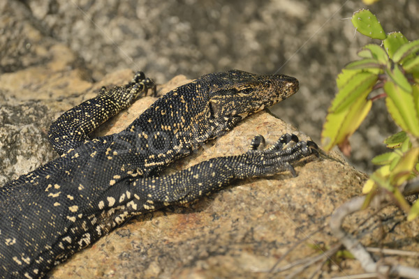 Monitor Lizard Stock photo © byrdyak