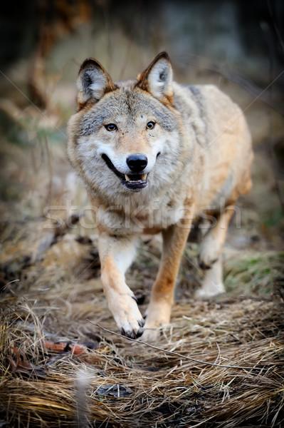 Wolf wild bos gezicht natuur dieren Stockfoto © byrdyak