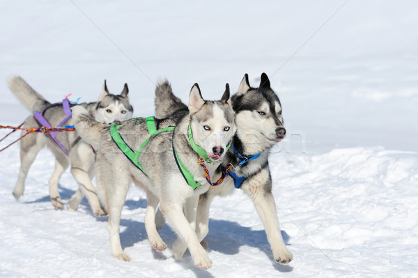 Stock photo: Siberian husky dog