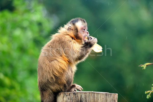 обезьяны молодые есть банан трава лес Сток-фото © byrdyak