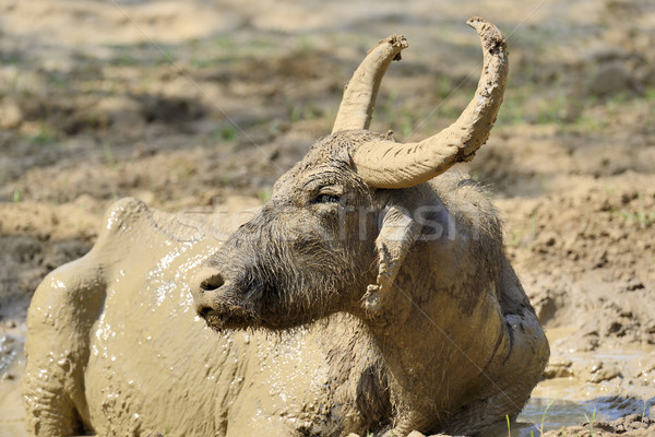 Stock photo: Water buffalo are bathing in a lake