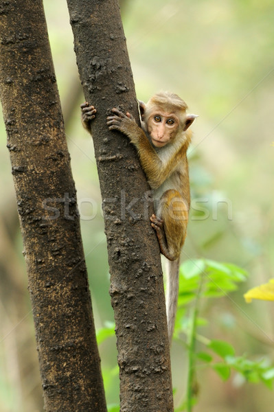 Monkey in the living nature Stock photo © byrdyak