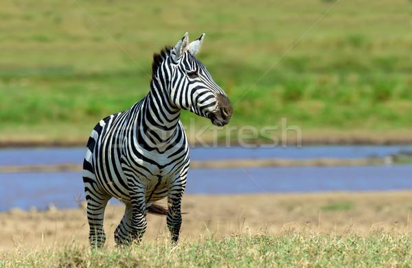 Zebra park Kenya víz Afrika fű Stock fotó © byrdyak