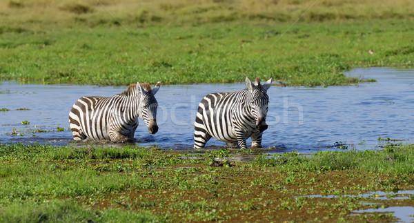 Zebra park Kenya tó Afrika fű Stock fotó © byrdyak