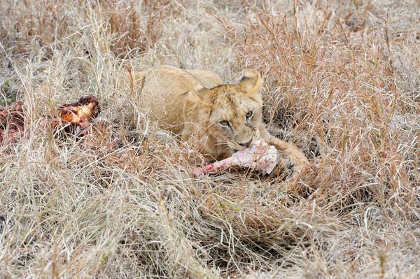 Cerca león parque Kenia África gato Foto stock © byrdyak
