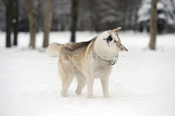 ハスキー 小さな 犬 雪 顔 幸せ ストックフォト © byrdyak