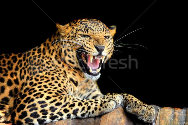 Leopar göz yüz Afrika siyah orman Stok fotoğraf © byrdyak
