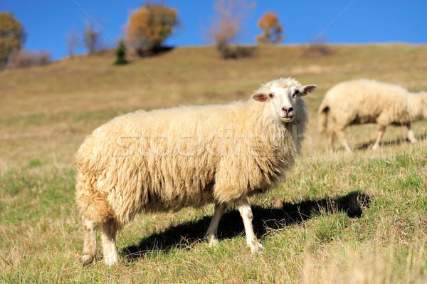 Sheep on a field Stock photo © byrdyak