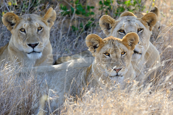 Lion parc Kenya Afrique chat Photo stock © byrdyak