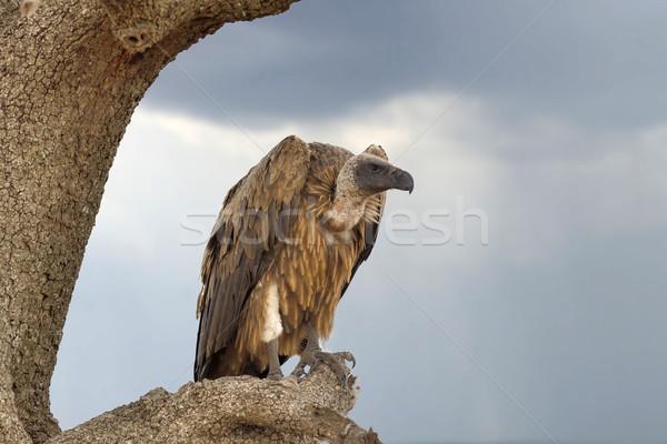 Vulture on tree. National Park of Kenya Stock photo © byrdyak