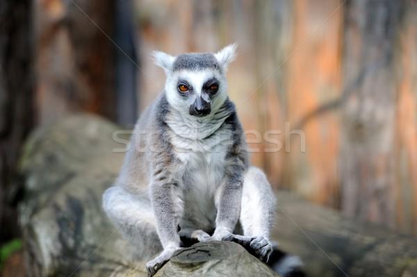 Lemur Stock photo © byrdyak