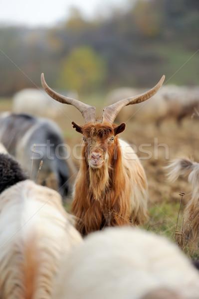 Kecske legelő nyáj égbolt arc farm Stock fotó © byrdyak
