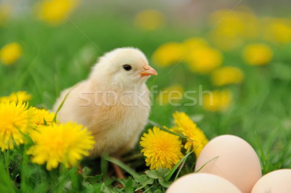 Little chicken Stock photo © byrdyak