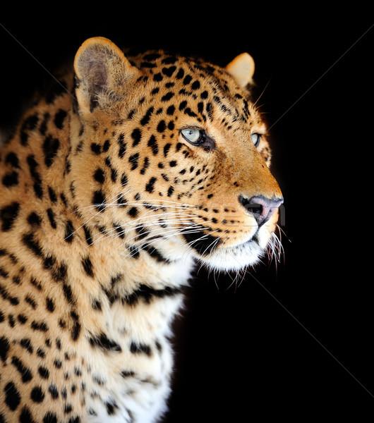 Leopardo retrato oscuro ojo cara África Foto stock © byrdyak