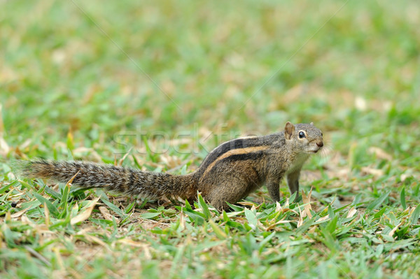 Chipmunk esquilo Sri Lanka ilha madeira Foto stock © byrdyak