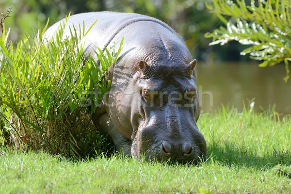 Víziló család nagy park Kenya Afrika Stock fotó © byrdyak