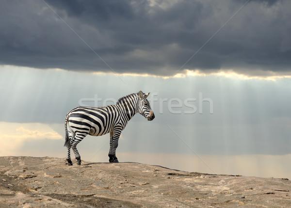 Zebra steen afrika park Kenia gras Stockfoto © byrdyak
