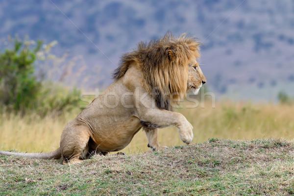Stock fotó: Oroszlán · zárt · park · Kenya · Afrika · macska