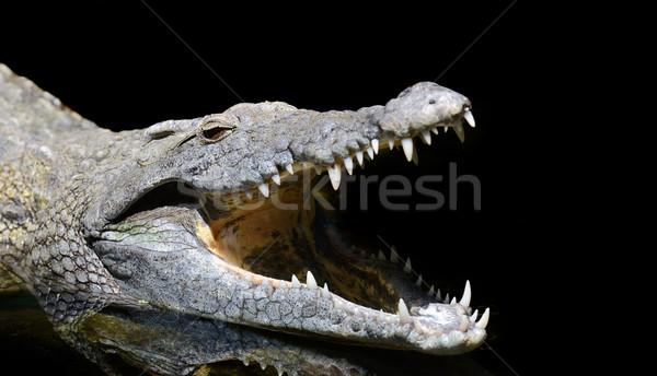 Krokodil fej sötét Kenya Afrika mosoly Stock fotó © byrdyak