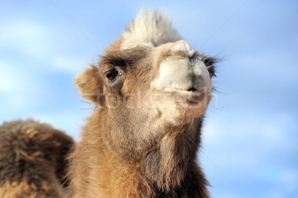 Kafa deve mavi gökyüzü göz gökyüzü Stok fotoğraf © byrdyak