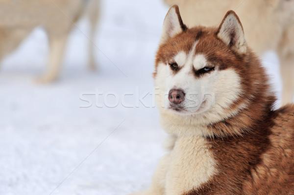 Husky собака зима портрет счастливым глазах Сток-фото © byrdyak