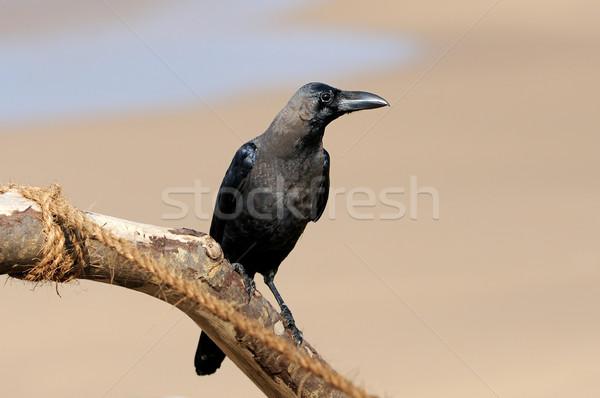 Corvo sessão ramo Sri Lanka céu natureza Foto stock © byrdyak