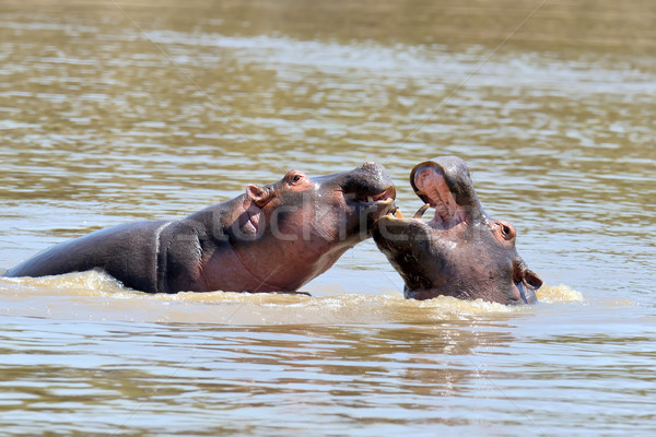 Hippo family Stock photo © byrdyak