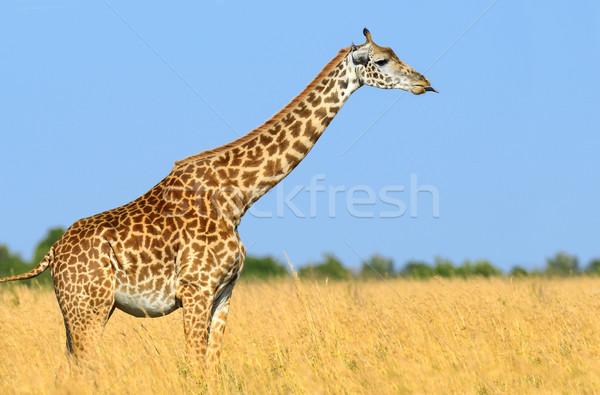 żyrafa parku Kenia sawanna Afryki oka Zdjęcia stock © byrdyak