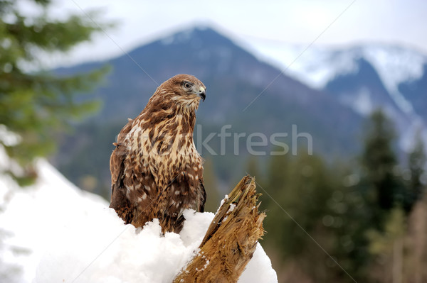 Falcão ramo floresta madeira neve montanha Foto stock © byrdyak