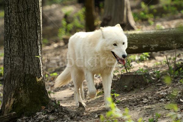 Branco lobo mata cão floresta Foto stock © byrdyak