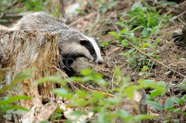 Badger Stock photo © byrdyak
