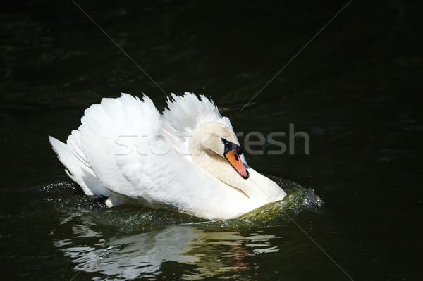 Cisne lago hermosa oscuro agua amor Foto stock © byrdyak