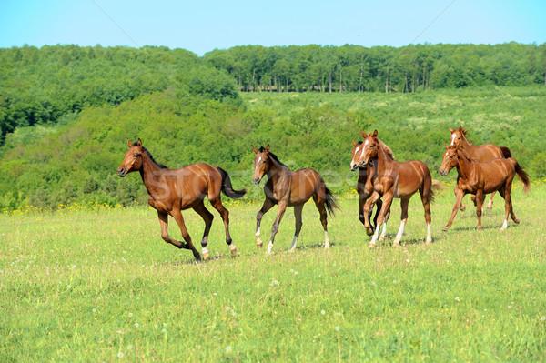 Ló fut mező nyár nap fű Stock fotó © byrdyak