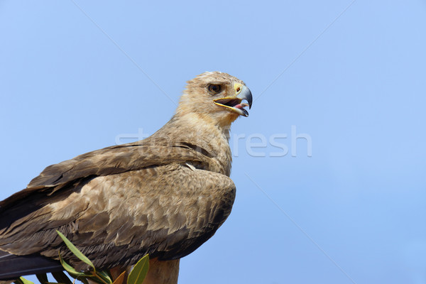 Tawny eagle (Aquila rapax) Stock photo © byrdyak