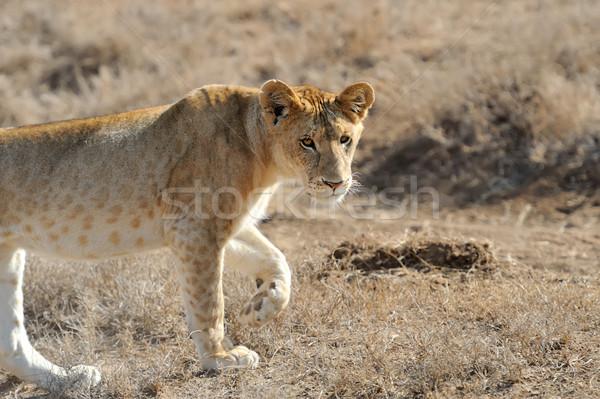 Foto stock: Fechar · leão · parque · Quênia · África · gato