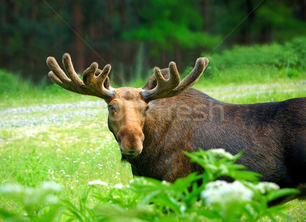 Eland groot gras bos lopen herten Stockfoto © byrdyak