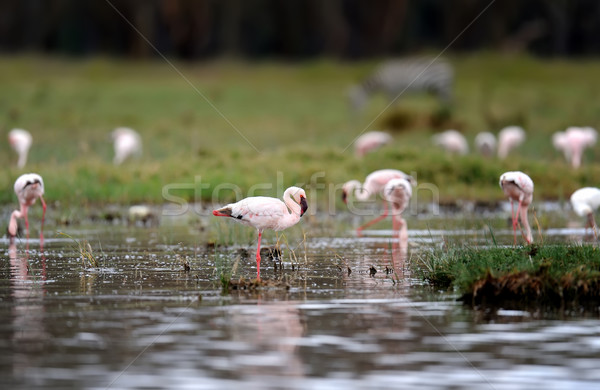 フラミンゴ 湖 公園 アフリカ 自然 背景 ストックフォト © byrdyak
