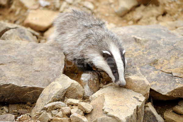 Badger Stock photo © byrdyak