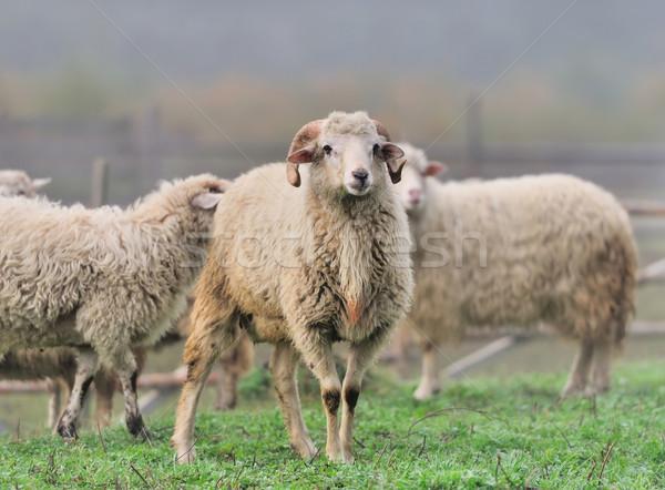 Sheep Stock photo © byrdyak