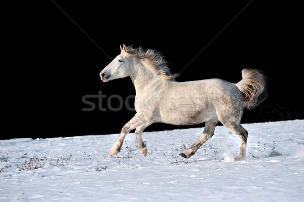 Fehér ló fut tél legelő erdő természet Stock fotó © byrdyak