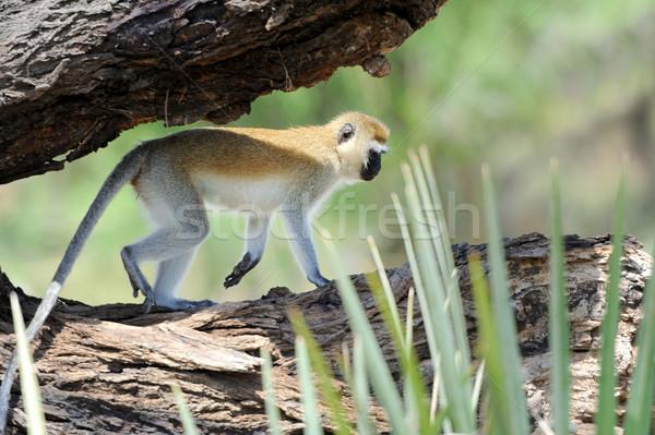 猿 ツリー 顔 目 自然 母親 ストックフォト © byrdyak