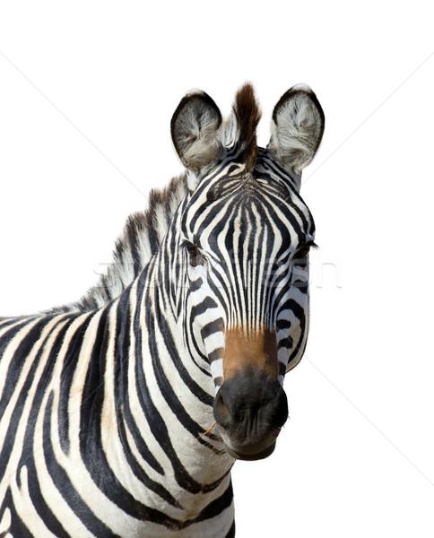 Zebra witte geïsoleerd paard achtergrond reizen Stockfoto © byrdyak