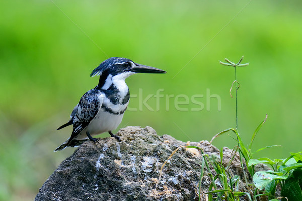 Pied Kingfisher Stock photo © byrdyak