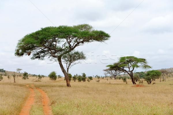 風景 ツリー アフリカ 美しい 太陽 自然 ストックフォト © byrdyak