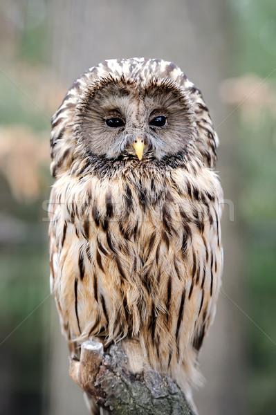 Uil tak boom oog vogel zwarte Stockfoto © byrdyak