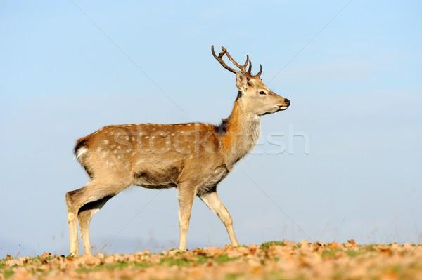Deer in autumn field Stock photo © byrdyak